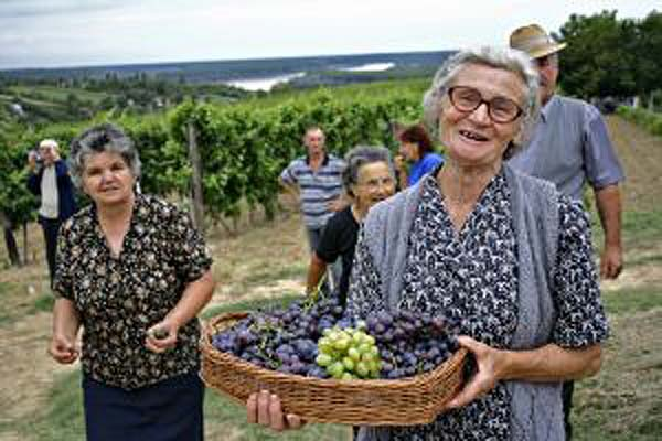 Elderly grape gathering in serbia