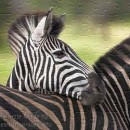 FREE Printable Jigsaw Puzzle: Zebra 1 (Small + Large Pieces)