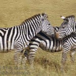 FREE Printable Jigsaw Puzzle: Zebra 2 (Small + Large Pieces)
